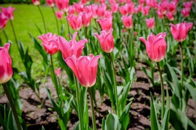 Красивые розовые тюльпаны в саду