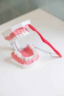 顎モデルを開いて、歯ブラシで正しく歯をきれいにする方法と、柔らかくて細い毛の歯ブラシでモデルの歯を磨くデモ。歯のモデルと白い背景の上の歯ブラシ
