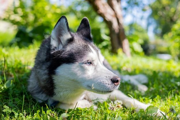 Портрет милой сибирской лайки лежа на зеленой траве. хаски ослабляет в зеленом поле травы на вечере. сибирский хаски против природы стены. собака лежит на земле в парке.