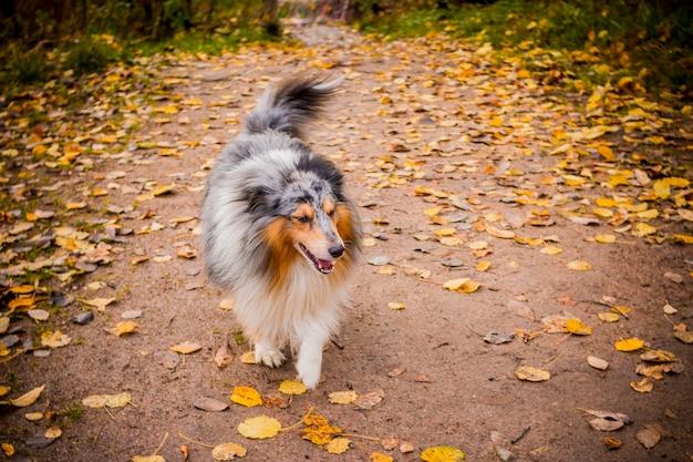 犬の品種はシェットランド牧羊犬の外。秋の公園を歩く