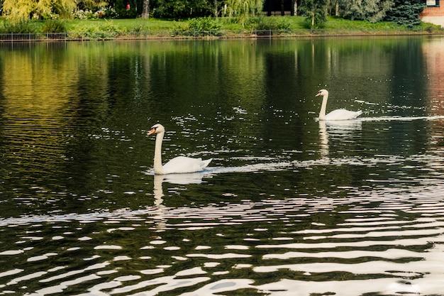 Крупным планом на белых лебедей, плавающих в большом прозрачном волнистом пруду