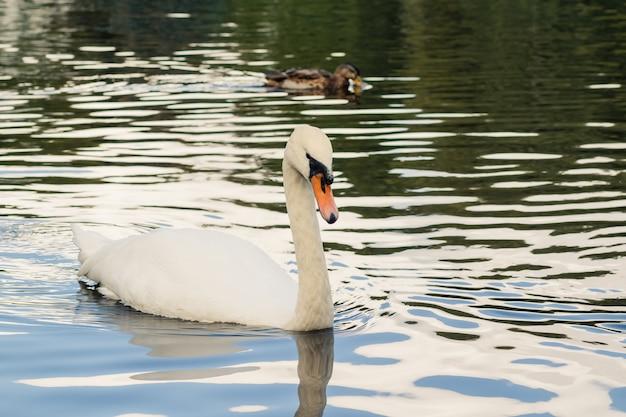 Крупным планом на белого лебедя, плавающего в большом прозрачном волнистом пруду