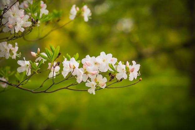 自然に美しい白とピンクのつつじの花のクローズアップには、背景がぼやけています。