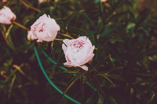 牡丹、雨上がりの庭の夏の花。牡丹のピンクと白。牡丹の繊細なブーケ。庭の植物。ランドスケープデザイン