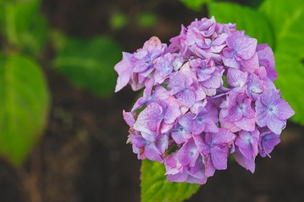 Розовая гортензия с солнечным светом. бутоны гидранты. японская голубая, фиолетовая гортензия.