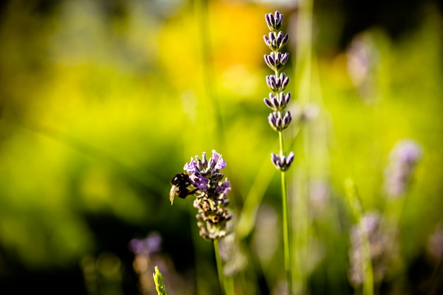 フラワーバイオレットラベンダーハーブ。美しい穏やかなラベンダーの花畑、抽象的な紫色の花、芳香の植物、夏の自然の美しさ