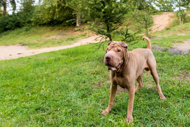 大きな茶色の犬