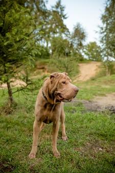 公園を歩いている大きな犬。知的目をした純血種のシャーペイ犬。