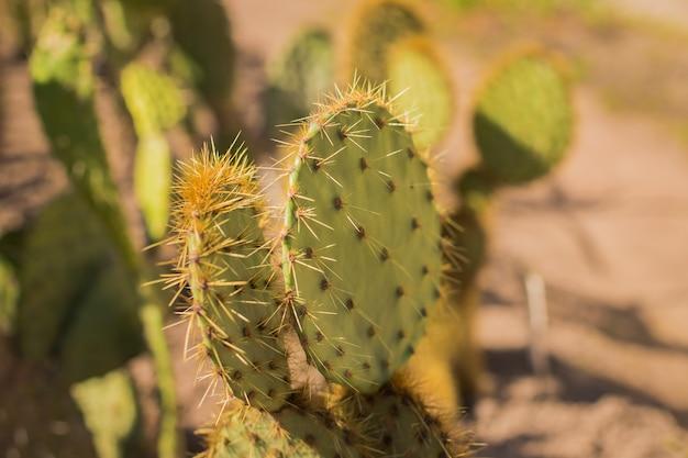 Зеленый кактус с узором иглы на фоне песка. большой кактус в саду или парке.