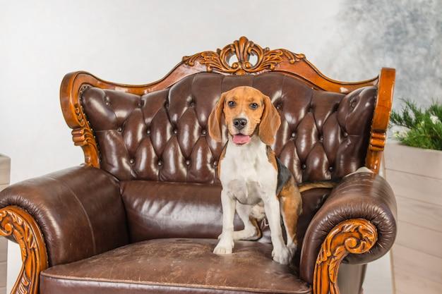犬が椅子に座っています。リラックスできるかわいいビーグル。レトロなスタイルの非常に大きなアームチェア。アンティーク家具、アンティーク家具、大きな茶色の革張りの椅子