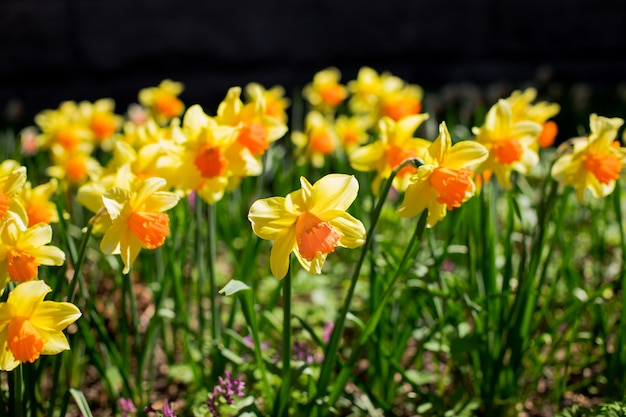 黄色と白の春咲く水仙の背景を成長させます。