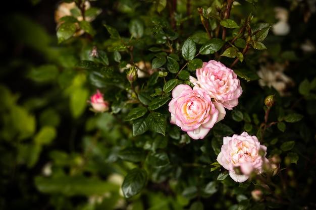 庭のバラ。夏の庭にピンクの淡いバラの茂み