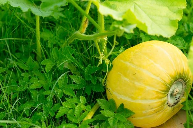 庭でカボチャ。家庭菜園で育った有機カボチャ。