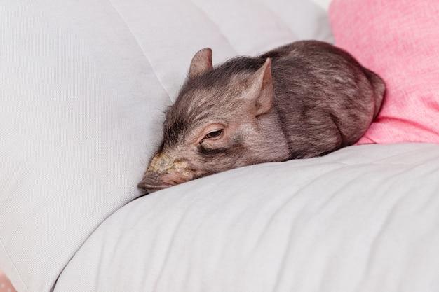 ソファの上のかわいい黒豚。年の中国のカレンダーの装飾のシンボル。