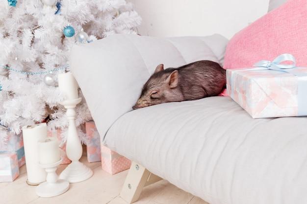 ソファの上の黒豚。年の中国のカレンダーの装飾のシンボル。休日、冬、お祝い
