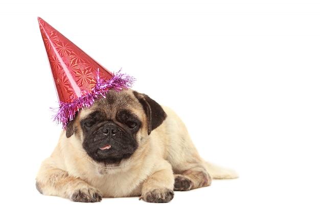 分離された帽子とかわいいパグ犬