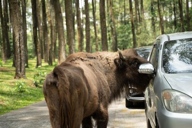 Рядом с окном машины стоит бизон