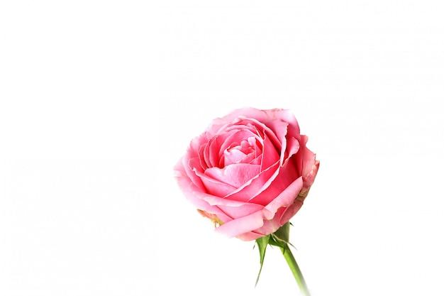 ピンクのバラの白い背景で隔離