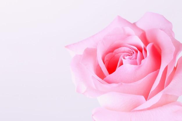 明るい背景にピンクのバラ