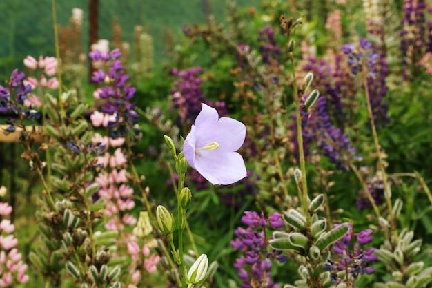 Цветок колокольчика в саду