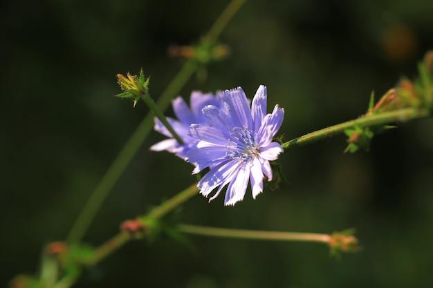 野生のチコリの花