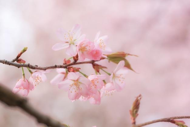 Сакура цветущая, весенний нежный фон. цветы яблони селективный мягкий фокус