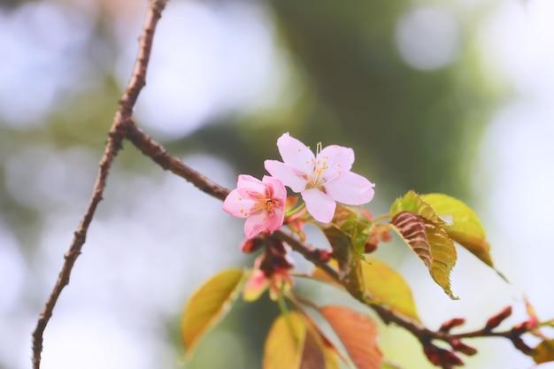 枝開花リンゴの木。ソフトセレクティブフォーカスと春の背景