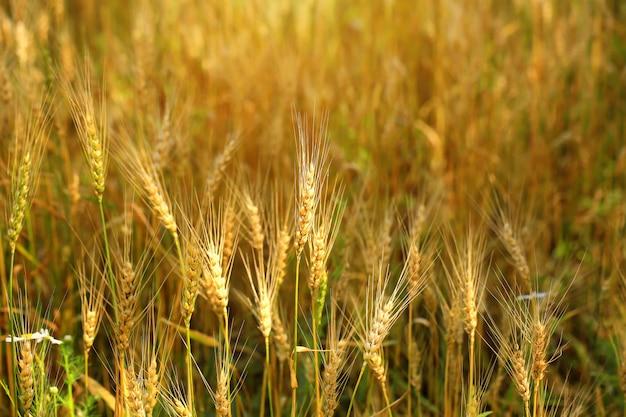 小麦の穂はフィールド有機農産物を小麦にします。
