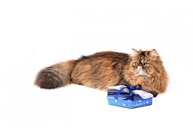 白い背景で隔離のギフトボックスと猫。トリコロールペルシャ猫