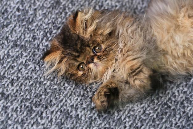 ニット毛布の上に横たわるかわいいペルシャの子猫