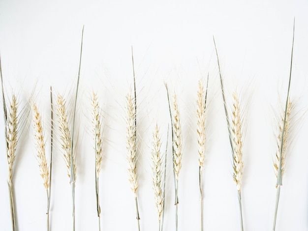 Колосья пшеницы светло-зеленого пастельного оттенка на белом фоне