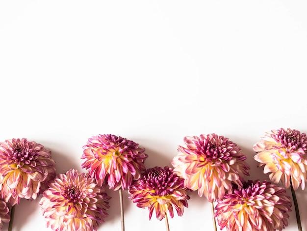 Персик и розовые георгины на белом фоне. вид сверху. копировать пространство