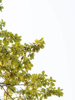 秋の黄緑色の葉とオークの枝