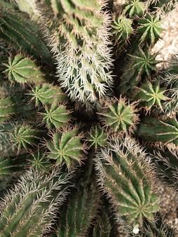 自然な背景サボテンまたは多肉植物。