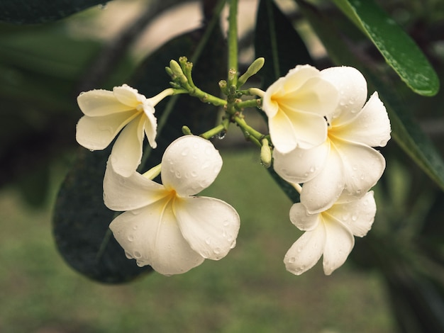 雨滴の下で香りのある顕花植物。