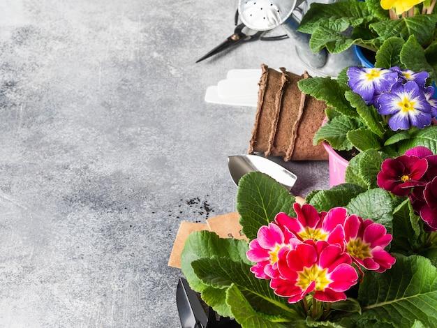 花の色とりどりのサクラソウとグレーのさまざまなガーデンツールの境界線