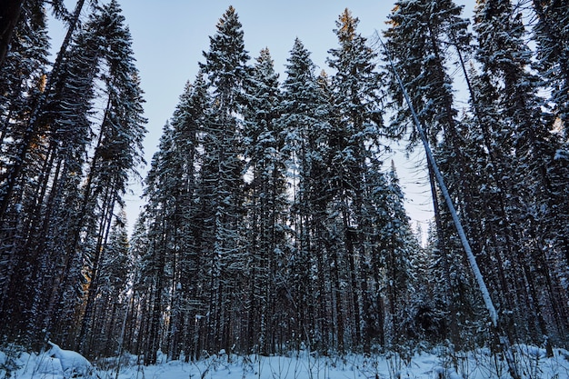 暗い森の夜、クリスマス前の森の散歩。雪に覆われた新年