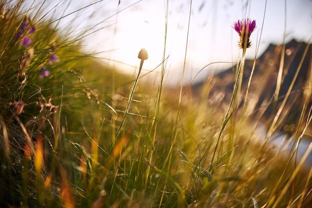 日没のマクロ写真のクローズアップで風に揺れる草の刃。小穂