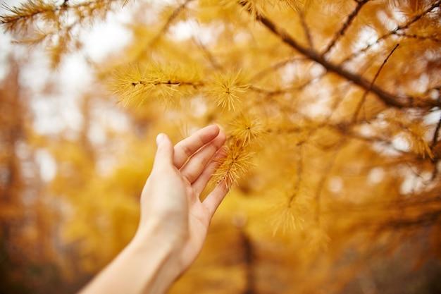 森の中の黄色の木、黄色のカラマツの木と黄金の秋