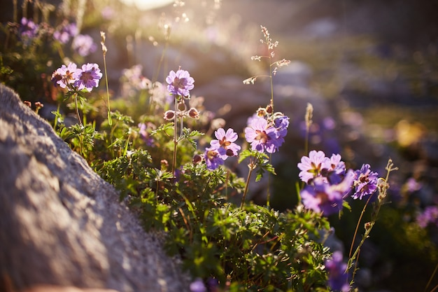 晴れた夜明けのコーカサス山脈の斜面に生える珍しい山の花と植物