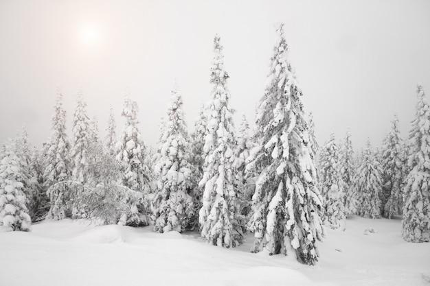 森の中でクリスマスの雪の朝。クリスマスツリーは雪で覆われています。すべてが雪で覆われている