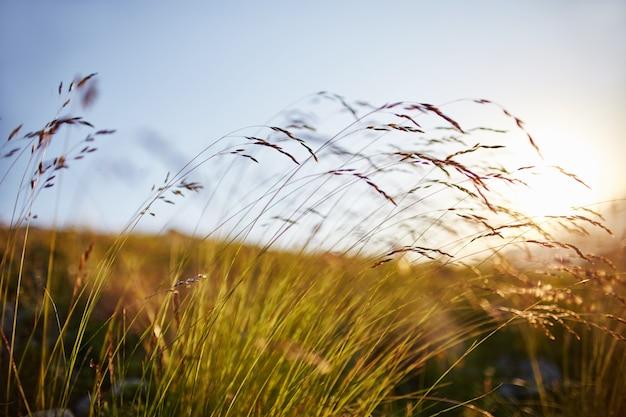 日没のマクロ写真のクローズアップで風に揺れる草の刃。太陽に対する小穂