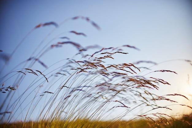 Травинки, качающиеся на ветру на закате