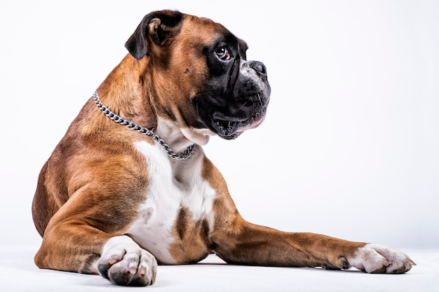 白い背景の上の暗示的な表情でボクサー犬