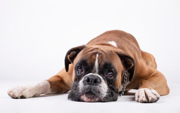 Собака боксера лежа с его головой на поле на белизне.