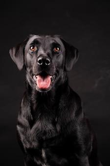 Черная лабрадорская собака с оранжевыми глазами с высунутым языком,