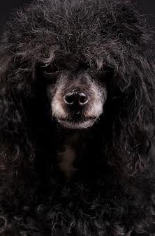 白い鼻とアフロの髪型と黒のプードル犬の肖像画