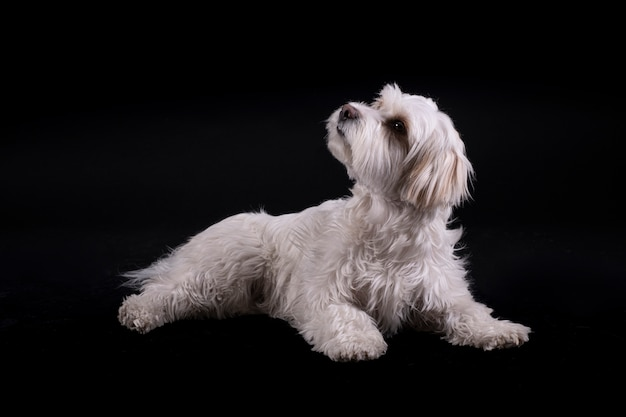 Бишон мальтийская седая собака смотрит вверх