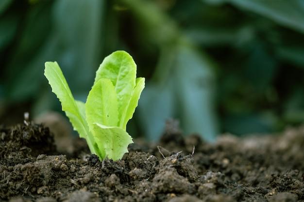 耕作地でのレタスの発芽。有機農業の概念