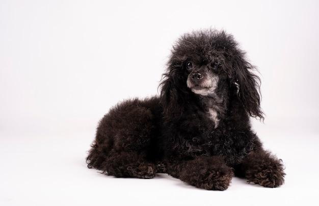 白い表面に横たわっているかわいい毛深い犬